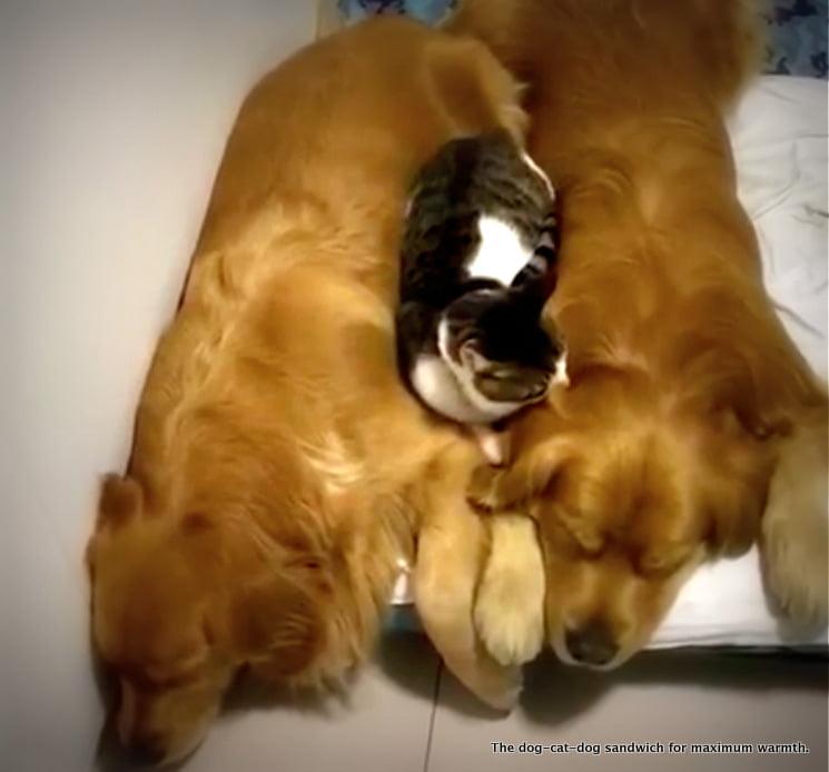 Dog-cat-dog sandwich