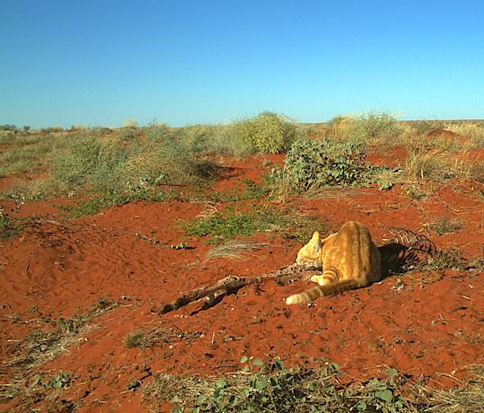 Australian drought forces feral cat to scavenge on a 30 kg kangaroo