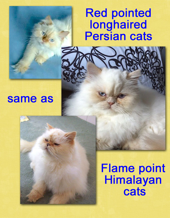 Flame point Himalayan cats