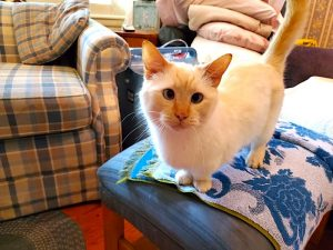 Flame point Siamese cross-eyed dwarf cat