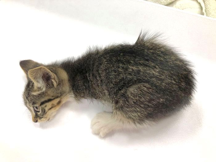 Kitten with front legs amputated
