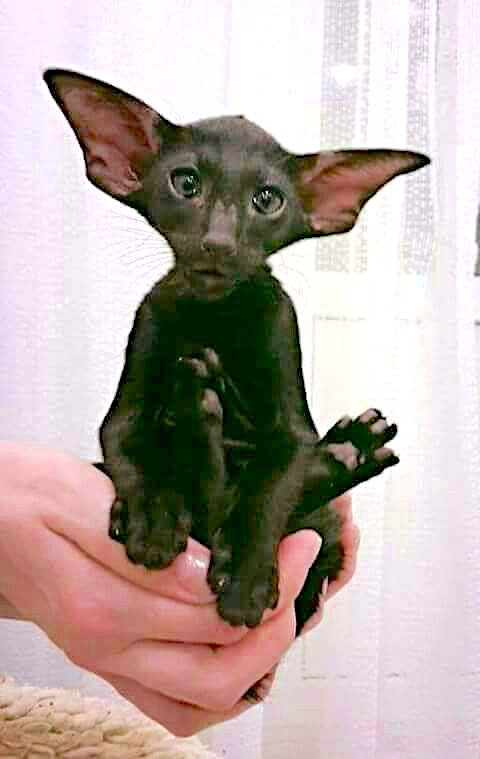 Mad looking Oriental Shorthair young cat with bat ears