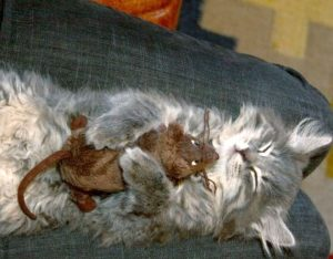 Mouser cat asleep with rat plush toy