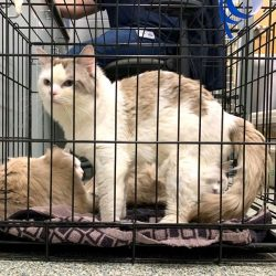 Rescued Ragdoll cats
