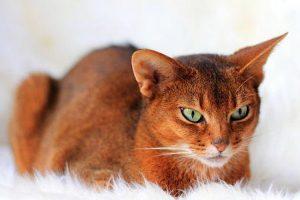 Sorrel Abyssinian cat