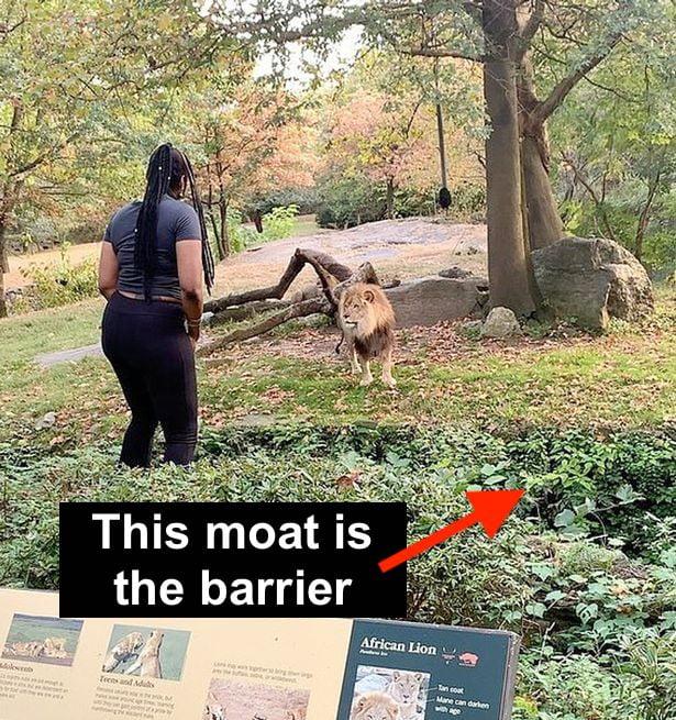 Woman enters lion enclosure