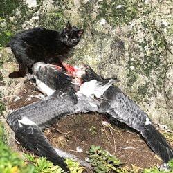 Feral cat eating an albatross chick