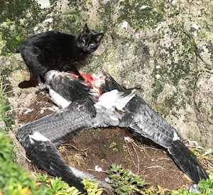 Feral cat eating an albatross chick