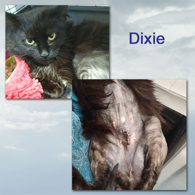 Dixie an hermaphrodite cat (believed)
