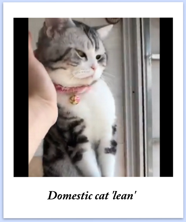 Domestic cat 'lean'