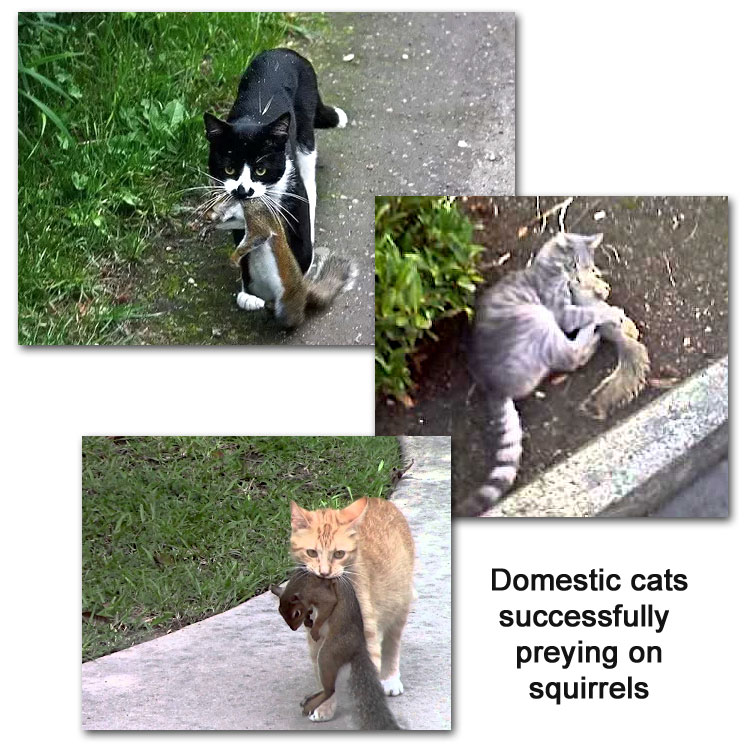 Domestic cats successfully hunting squirrels