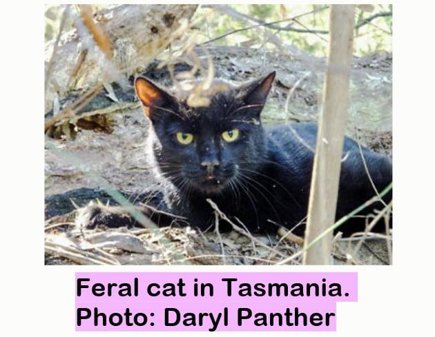 Feral cat in Tasmania
