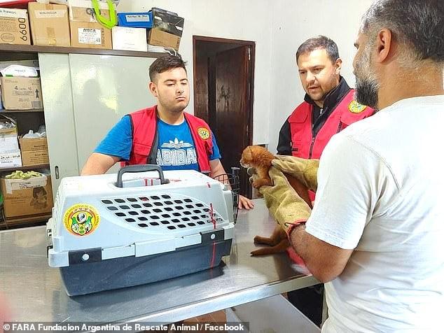 Jaguarundi cub at animal rescue in Argentina