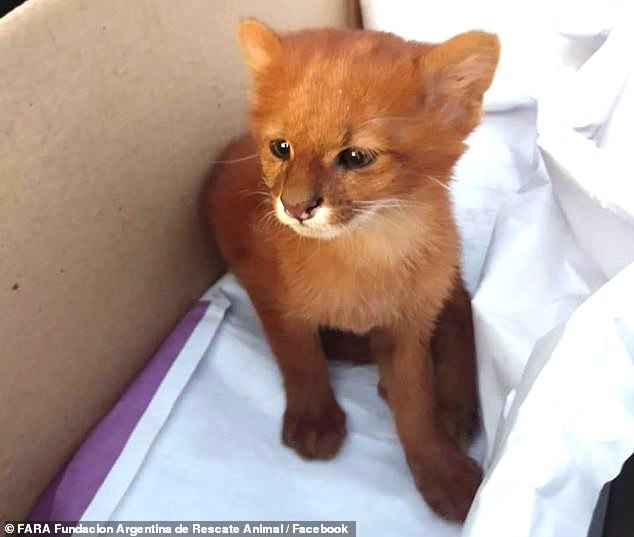 Jaguarundi cub, Dani (a male), inadvertently adopted by Argentinian teenager