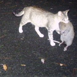Japanese feral cat with large rat in his mouth