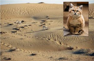 Sand cat habitat and the sand cat