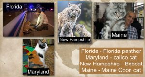 USA State cats as designated state animals