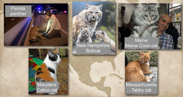 American state cats