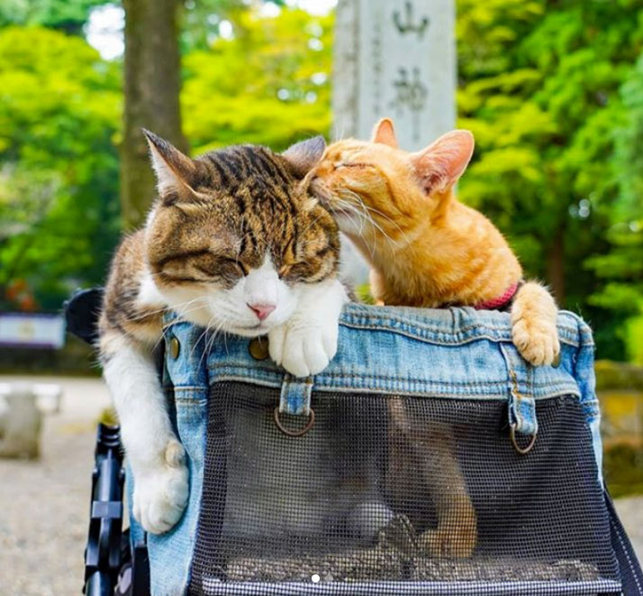 Travelling Japanese rescue tabby cats: Daikichi and Fuku-Chan.