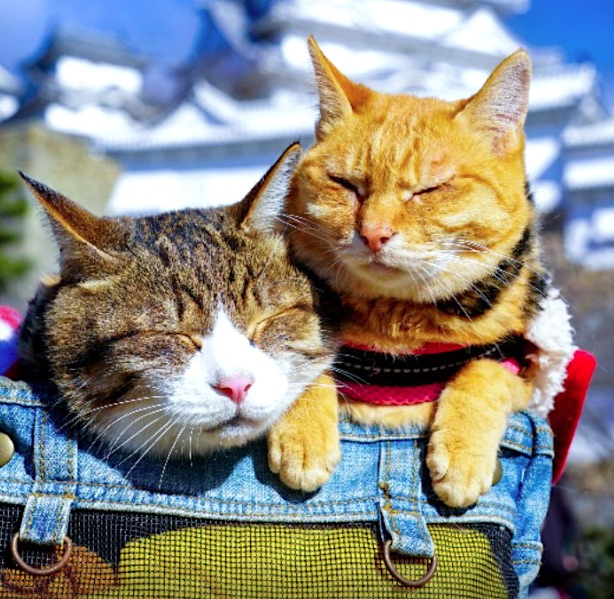 Travelling Japanese rescue tabby cats