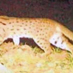 Asiatic leopard cat