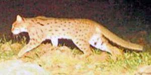 Asiatic leopard cat