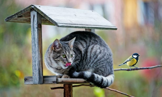 Domestic cat in garden eyes up a blue tit