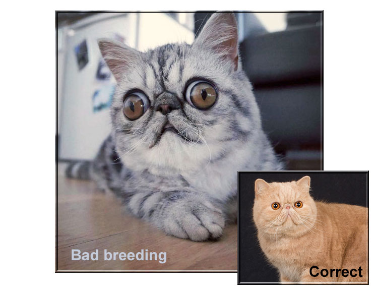 Badly bred Exotic Shorthair