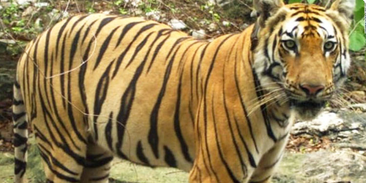 Bengal tiger travelled 800 miles on dispersal