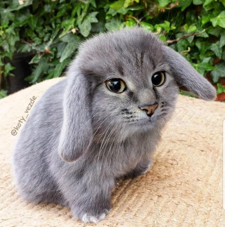 Brilliant photo-editing to create cat-rabbit hybrid