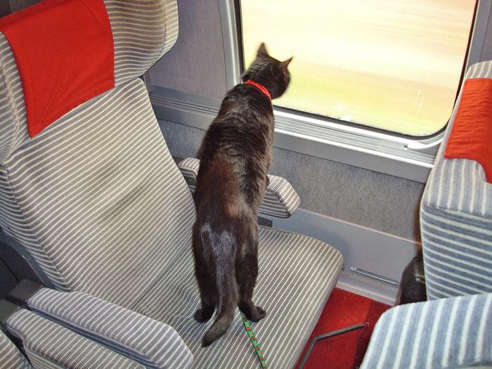 Cat on leash on train