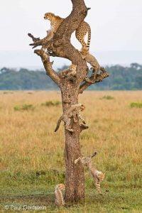 Cheetahs can climb trees