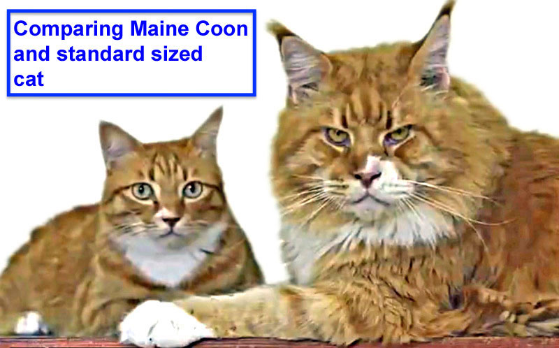Comparing Maine Coon and standard sized cat
