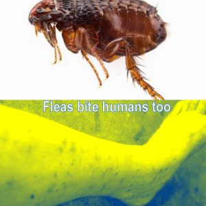 How do indoor cats get fleas?