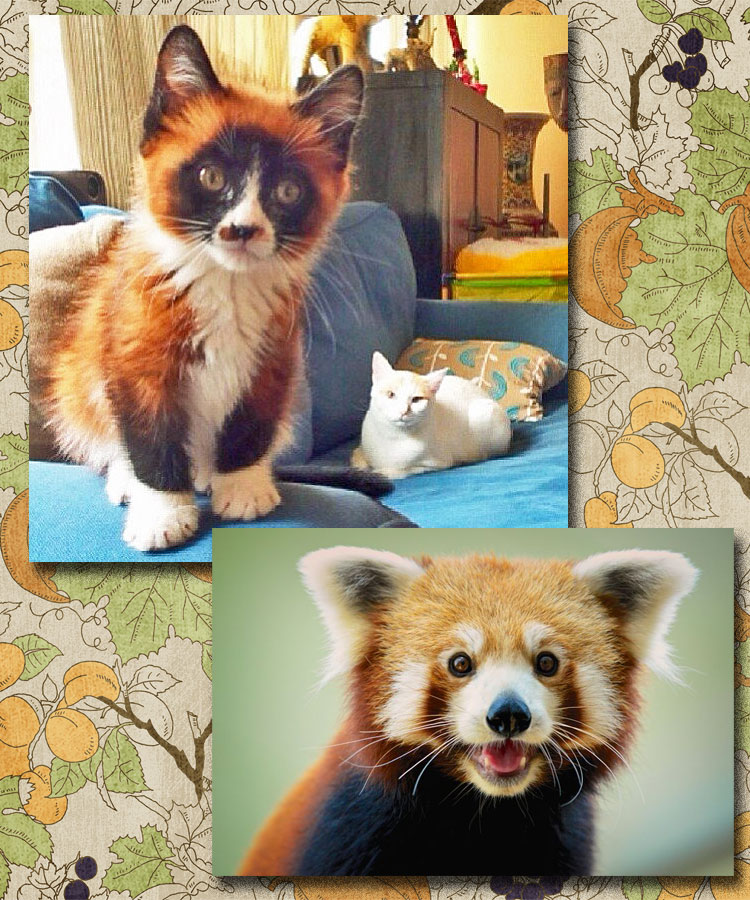 Dwarf Red Panda Kitten