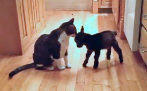 Goat and cat play in their own way