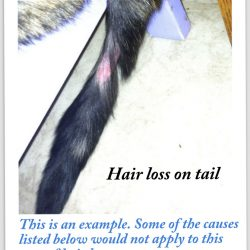 Hair loss on cat tail
