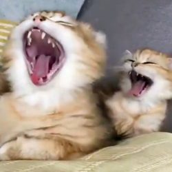 Kitten copies mother's yawn