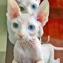 Odd-eyed hairless cats