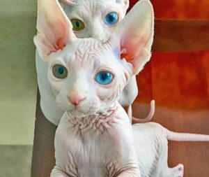 Odd-eyed hairless cats