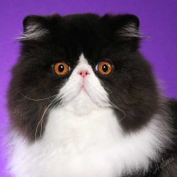 Black and White Persian male