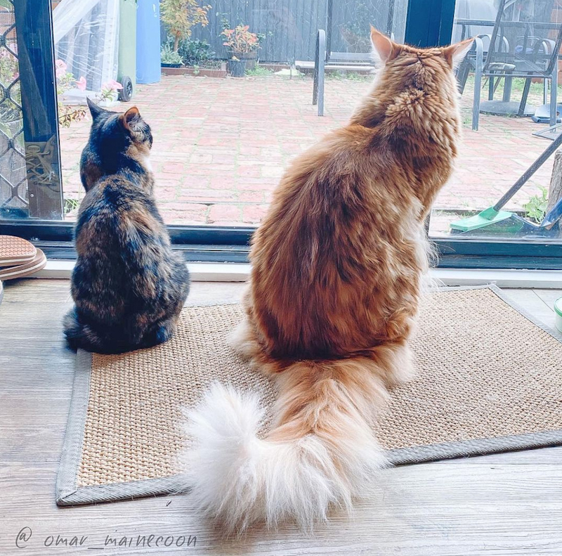 Size difference between Maine Coon and standard domestic cat. This is Omar on the right.
