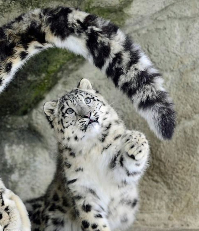Snow leopard cubs often play with their parent's tails