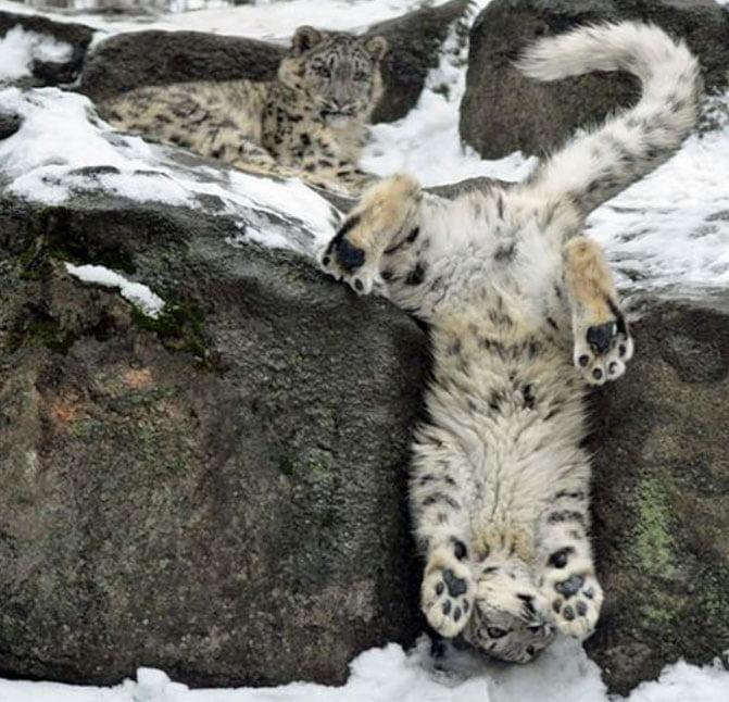 Snow leopards larking around