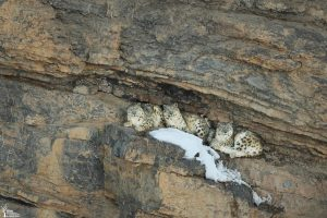 Stunning photograph of three snow leopards on ledge in cliff face
