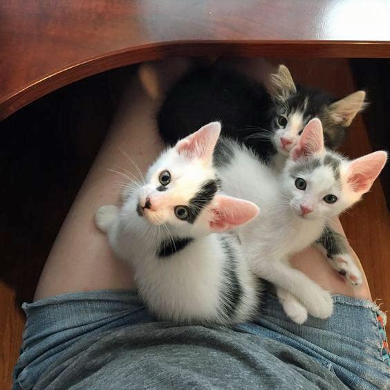 Three lap cats