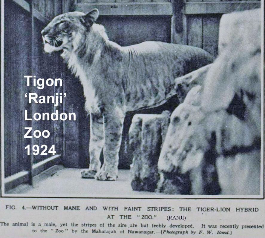 Tigon Ranji 1924