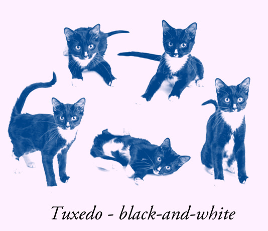 Tuxedo Cat or black-and-white cat