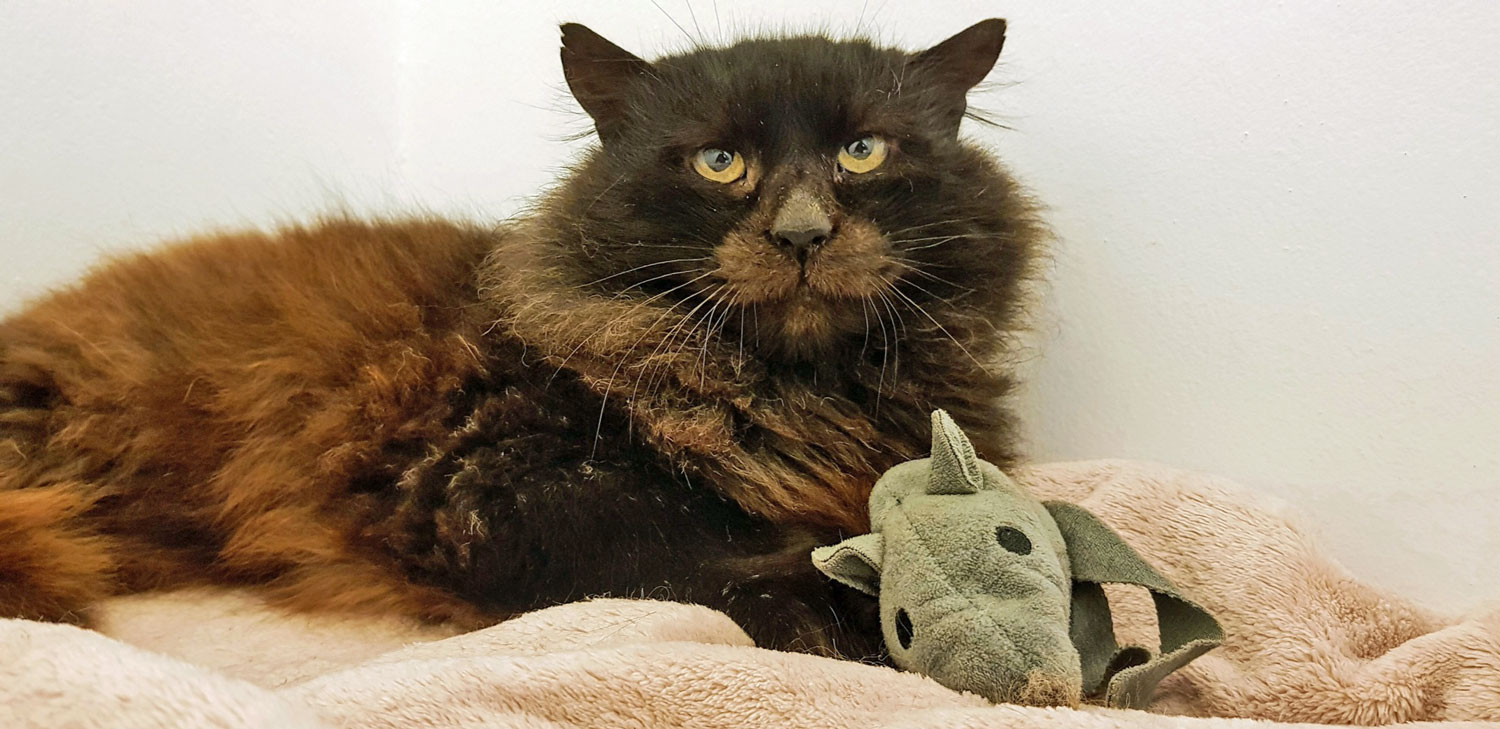 Unusual looking toothless cat ready for adoption
