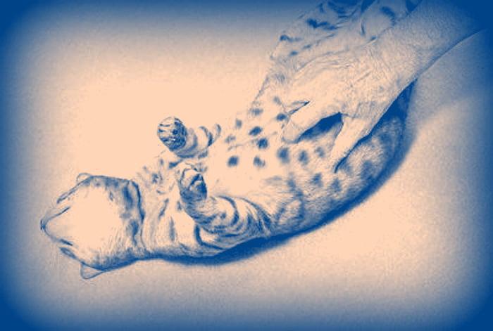 Domestic cat belly rub
